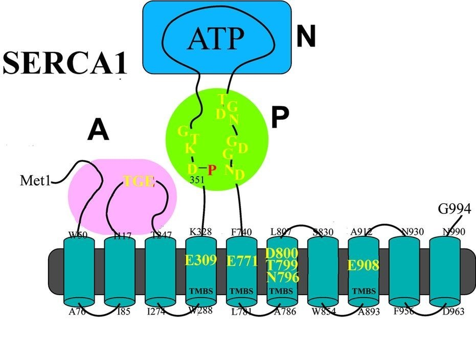 Ca2+ and Cu2+ ATPases are enzyme proteins that utilize ATP for active transport of Ca2+ or Cu2+ across intracellular or cellular membranes.1-4 These enzymes are referred to as P-type ATPases since they utilize ATP through formation of a phosphorylated intermediate (E-P) whose phosphorylation potential affects orientation and affinity of bound cations by means of extended conformational changes. Thereby specific cations are transported across membranes, forming transmembrane gradients in the case of Ca2+, or accepting Cu2+ from delivering proteins on one side of the membrane and releasing it to carrier proteins on the other side. Binding of Ca2+ or Cu2+ is required for enzyme activation and utilization of ATP by transfer of ATP terminal phosphate to a conserved aspartate residue. The ATPase protein is composed of a transmembrane region composed of helical segments and including the cation binding site (TMBS), and a cytosolic headpiece with three domains (A, N and P) containing the catalytic and phosphorylation site.
